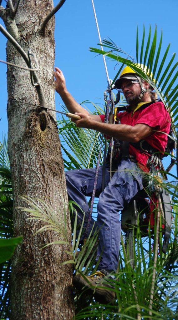 A man climbing a tree using climbing gear so he can cut off branches